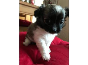 3/4 chihuahua puppies in Ebbw Vale