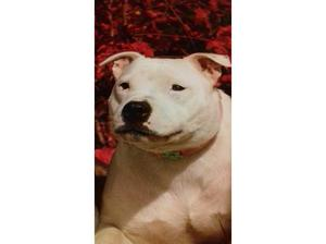 wanting staffie in Coventry