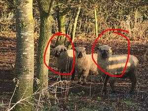 2 hampshire down ewe lambs