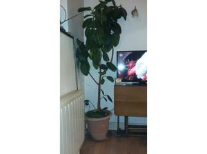 Rubber plant potted in Southampton