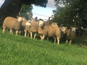 SHEEP GRAZING WANTED.