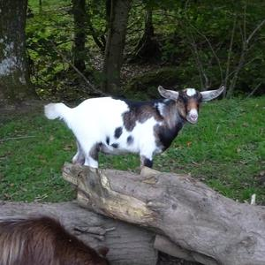 Selection of goat wethers (castrated boys) for sale