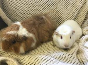 Bonded male guinea pigs