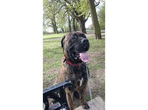 Bull Mastiff dog in need of a good home in Leicester