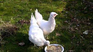 Cheshire Blue chickens for sale