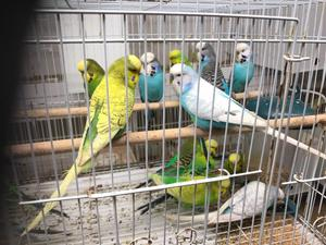 Lots of budgies for sale, all colours more females than males but wanting to sell as pairs £15 pair