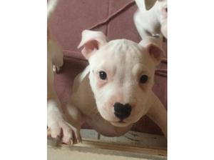 One bouncing boy available out of a litter of 11 in Pentre