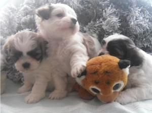 Shih Tzu Puppies For Sale in Bournemouth