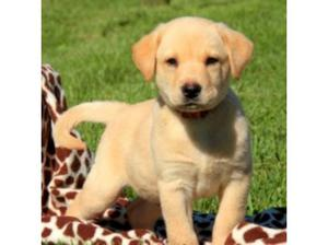 looking for a Labrador retriever puppy. in Stoke On Trent
