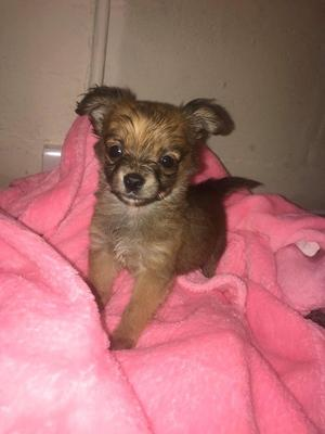 A beautiful boy Chihuahua looking for a forever home