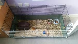 FREE two male baby guinea pigs