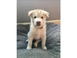 Malamute X Husky Puppies for Sale in Stockport