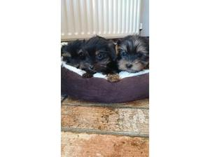 Tea cup Yorkshire terriers in South Ockendon