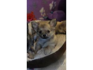 Long Coat Chihuahua Girl in Sunderland