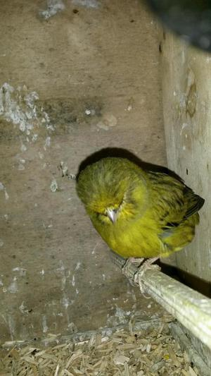 PAIR OF NORWICH CANARIES