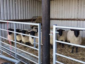 10 x Part bred Suffolk ewes