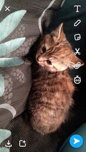Beautiful female kitten ready now