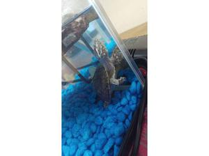 Musk turtle in Dunstable