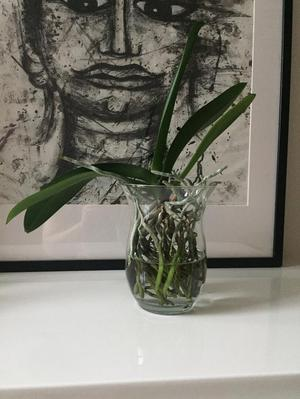 Water Culure Orchid with Vase White Blossoms Healthy Roots