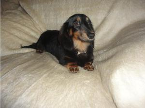 miniature longhaired black and tan boy in Crewe
