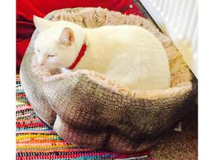 Femal cat in Blackburn