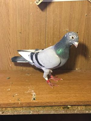 Racing pigeon for sale in Harlow