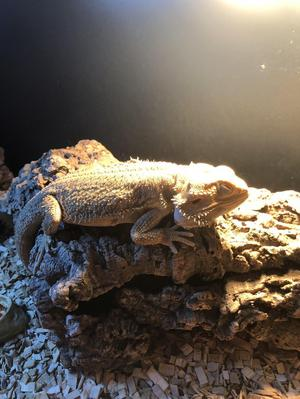Bearded Dragon - FREE TO A GOOD HOME
