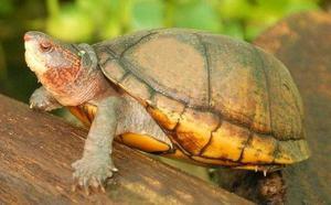 Red cheek mud turtle Female very rare.  cb