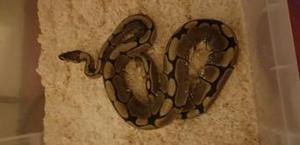 male spider ball python