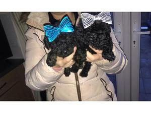 Poodle puppies in Weston Super Mare