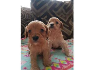 Cavapoo puppies in Sittingbourne