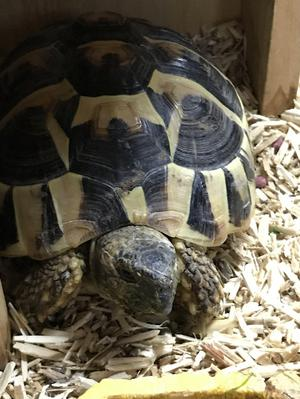 Friendly Hermanns Tortoise incl Vivarium, outdoor home & run