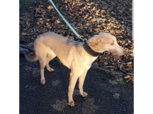 3/4 whippet 1/4 collie stud in Stoke On Trent
