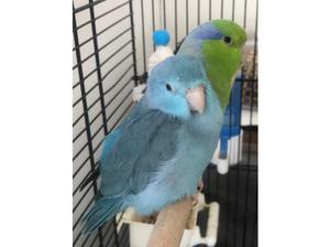 Beautiful pair of parrotlets for sale for £50 in Redbridge