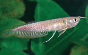 Silver arowana south american tropical fish fish posot class for Small silver fish
