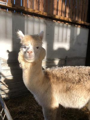 Alpaca, entire male, 3 years old