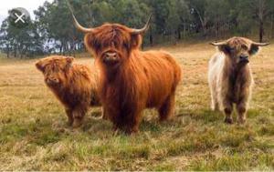 Highland heifers wanted