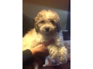Shihtzu cross toy poodle in Southsea