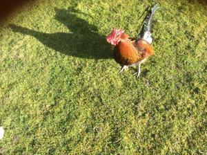 Derbyshire Redcap hatching eggs