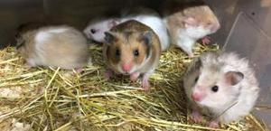 Syrian Hamster Babies Short Hair & Long Hair