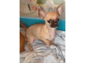 Beautiful Female Chihuahua Ready For A Good Home in Bridgend