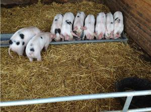 Gloucestershire Old Spot weaners in Norwich