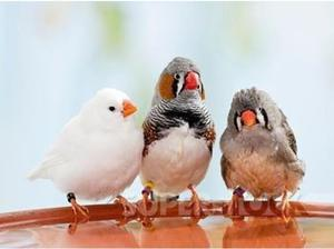 Zebra Finches for sale in Exeter