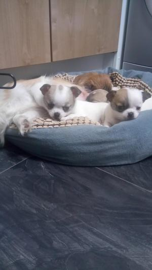 Chihuahua puppies 6 week old ready in 2 weeks