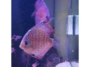 discus in Barry
