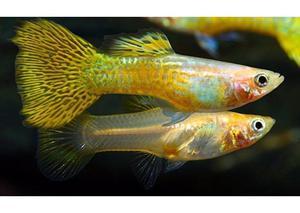 """""""BLONDE GOLD SNAKESKIN"""" ENDLER'S GUPPY FISH FOR SALE"""