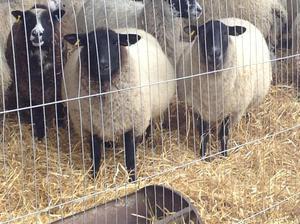 Suffolk X ewes