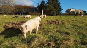 Welsh x Gloucestershire Old Spot pigs
