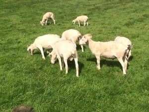 Wiltshire horn pet lambs