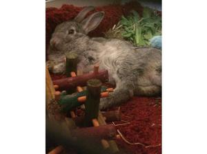 for sale silver and black baby rabbit in Bradford